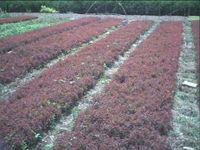 供应 红叶小檗苗 红叶小波苗 紫叶小檗小苗 紫叶小檗苗床苗工程苗