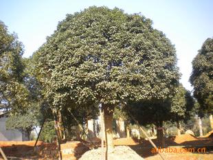 精品供应湖南大树---桂花树-桂花苗木