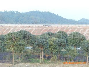 大量供应绿化乔木---精品桂花树-
