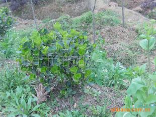 大量供应绿化花木四季青球工程绿化苗木