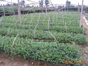 供应茶梅绿化苗木  精品极致球形