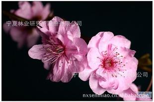 【低价供应】绿化花卉苗木灌木类美人梅(图)