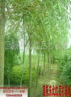 绿化苗木垂柳
