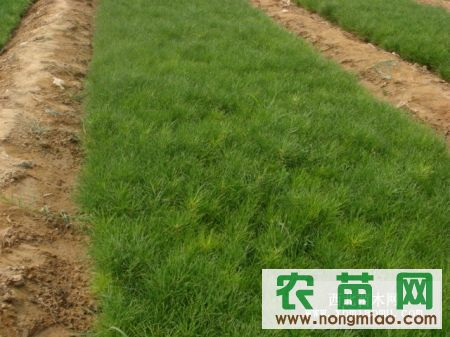 低价供应二年生,三年生营养袋樟子松,油松,侧柏