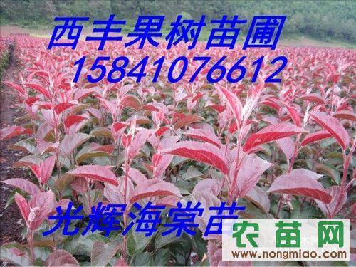 新品种苗 红叶李子苗