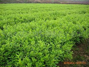 苗圃基地大量供应灌木类绿化苗木杜鹃小苗