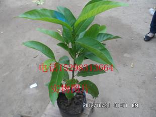 盆栽**白兰花苗**一株在屋,满屋芬芳盆栽花卉盆栽办公室