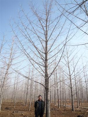 低价供应0-60公分银杏树