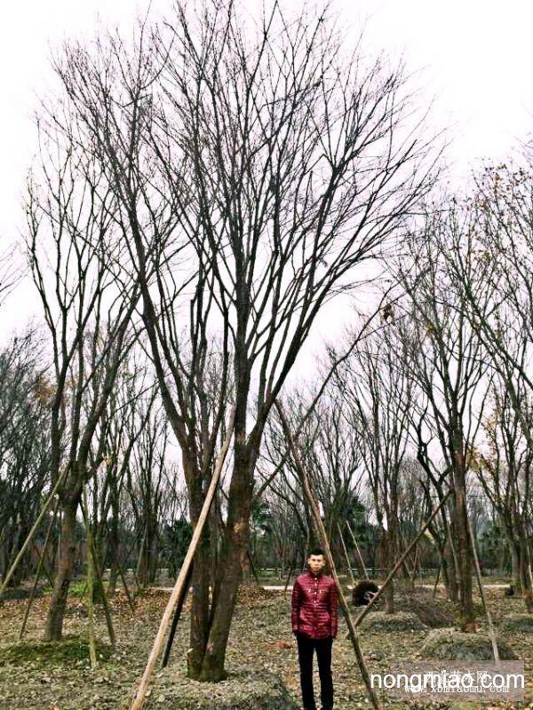 全冠熟货茶条槭
