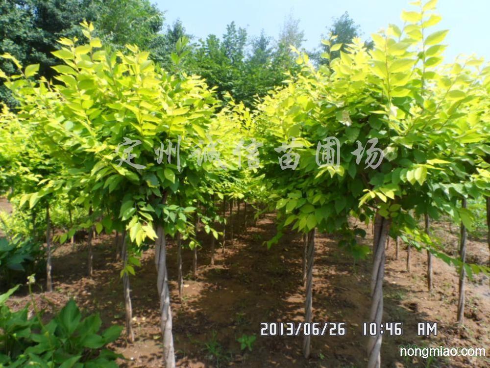 供应高杆、矮杆嫁接金叶榆工程苗