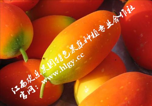 供应(红参果)种子批发,当年种当年结果