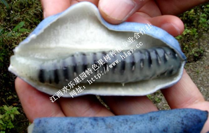 纯天然无污染蓝蕉果【提供蓝蕉果种子、种苗】