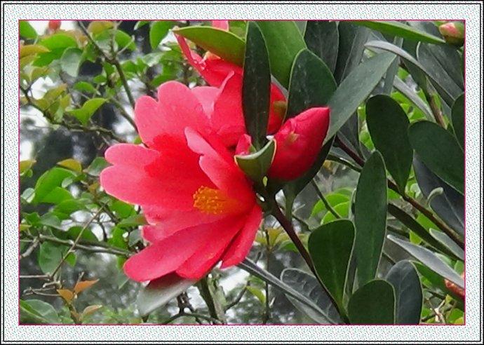 供应四季红山茶、四季杜鹃红山茶花树苗