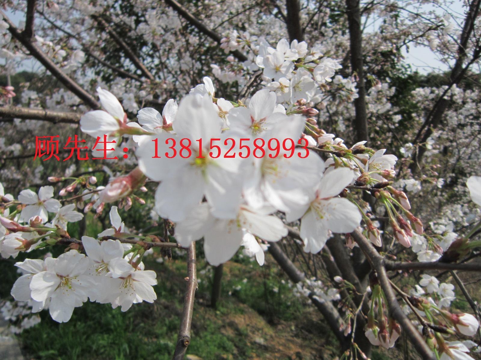苏州樱花树日本染井吉野樱苏州绿化苗圃
