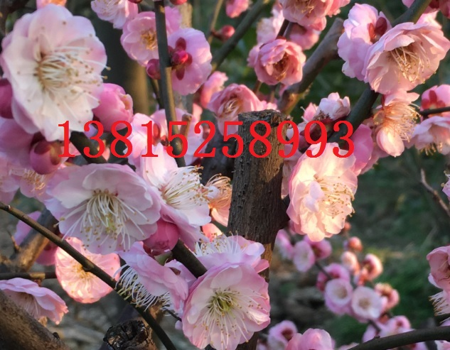 苏州梅花树光福梅花园,别墅庭院景观绿化