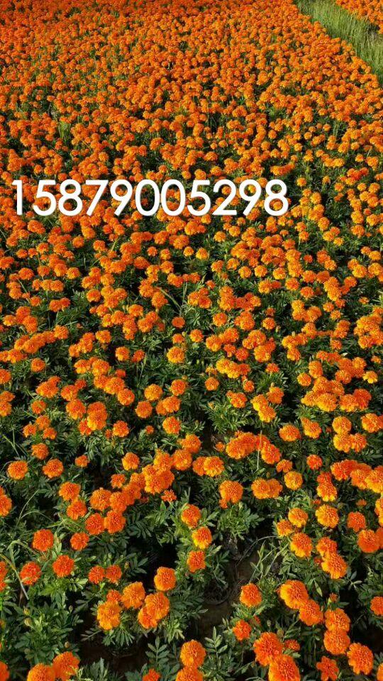 江西省南昌市时令草花出售专业化种植合作社