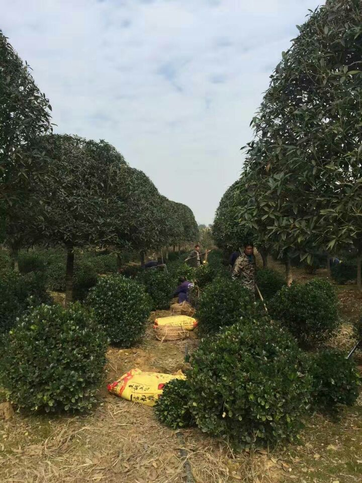 江西省哪里有大叶黄杨容器苗大小杯、球柱卖