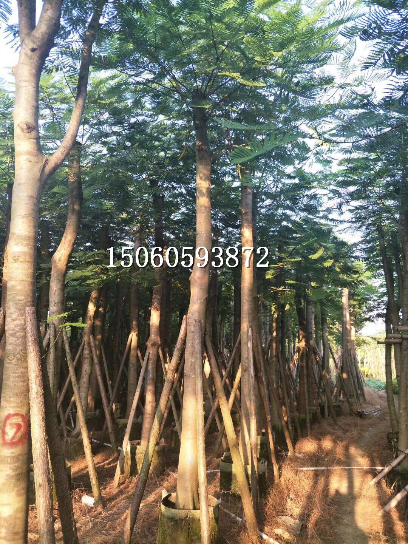 广东凤凰木厂家直供,广东凤凰木价格,批发