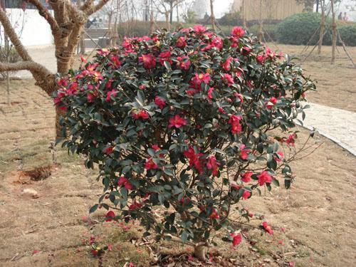 茶花茶梅,山茶,夹竹桃,杜鹃花,玫瑰牡丹