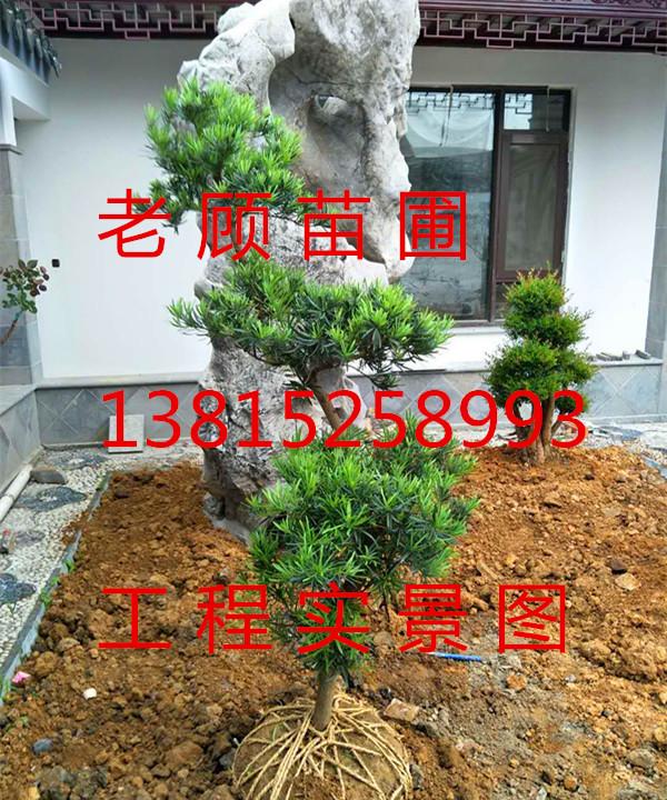 苏州景观树木古桩、庭院别墅景观绿化工程