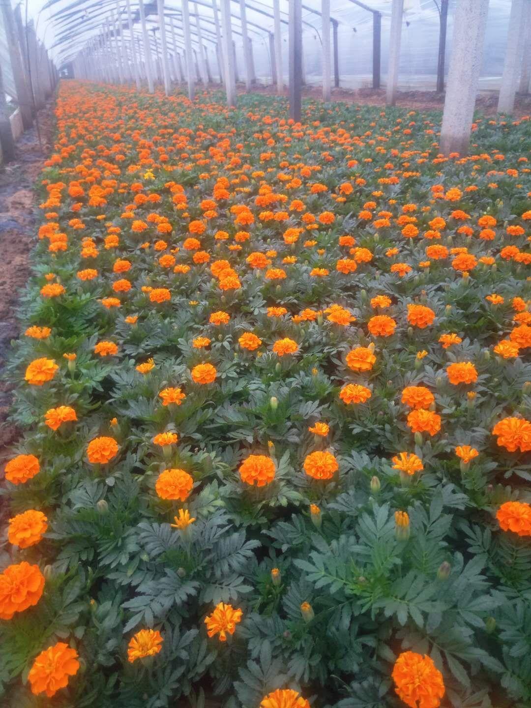 时令花卉长春花草花基地长春花供应四季草花