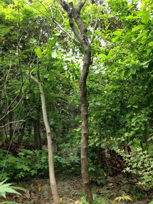苏州枣树,冬枣树,大白枣树