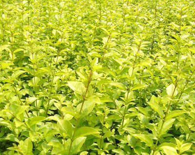 河北哪里有卖营养钵的金叶榆――保定京津苗圃