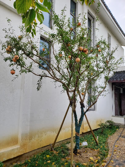 苏州石榴树、水晶石榴、苏州苗圃