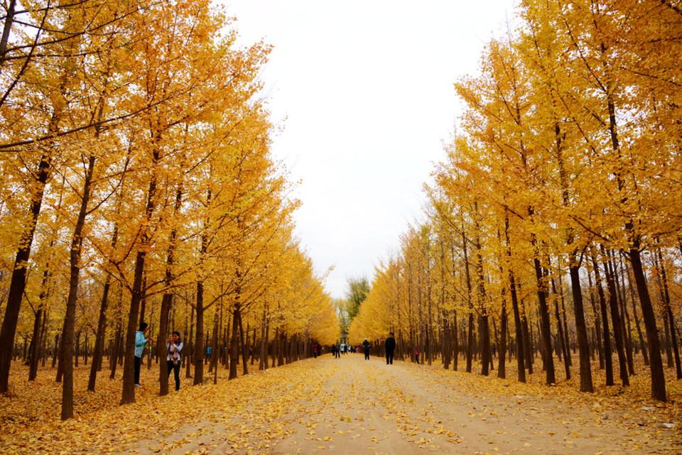 壁纸 风景 森林 树 杨树 桌面 960_641
