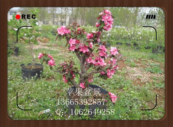 常年出售各种观赏性果树盆栽/盆景,基地主要产品有:盆栽苹果,盆栽梨树