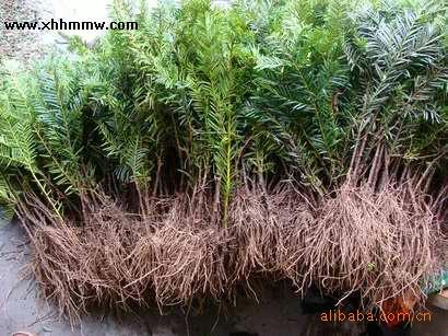 红豆杉,红豆杉盆景 集安市东北红豆杉繁育基地图片