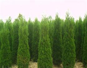 安徽绿化苗木天顺家庭农场