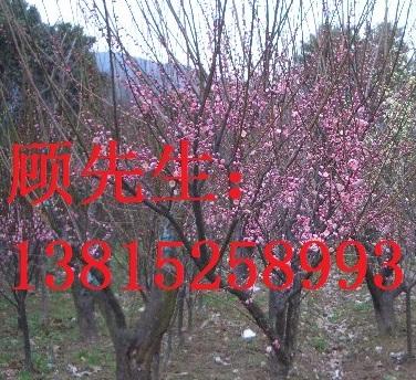 苏州光福宏图苗木基地