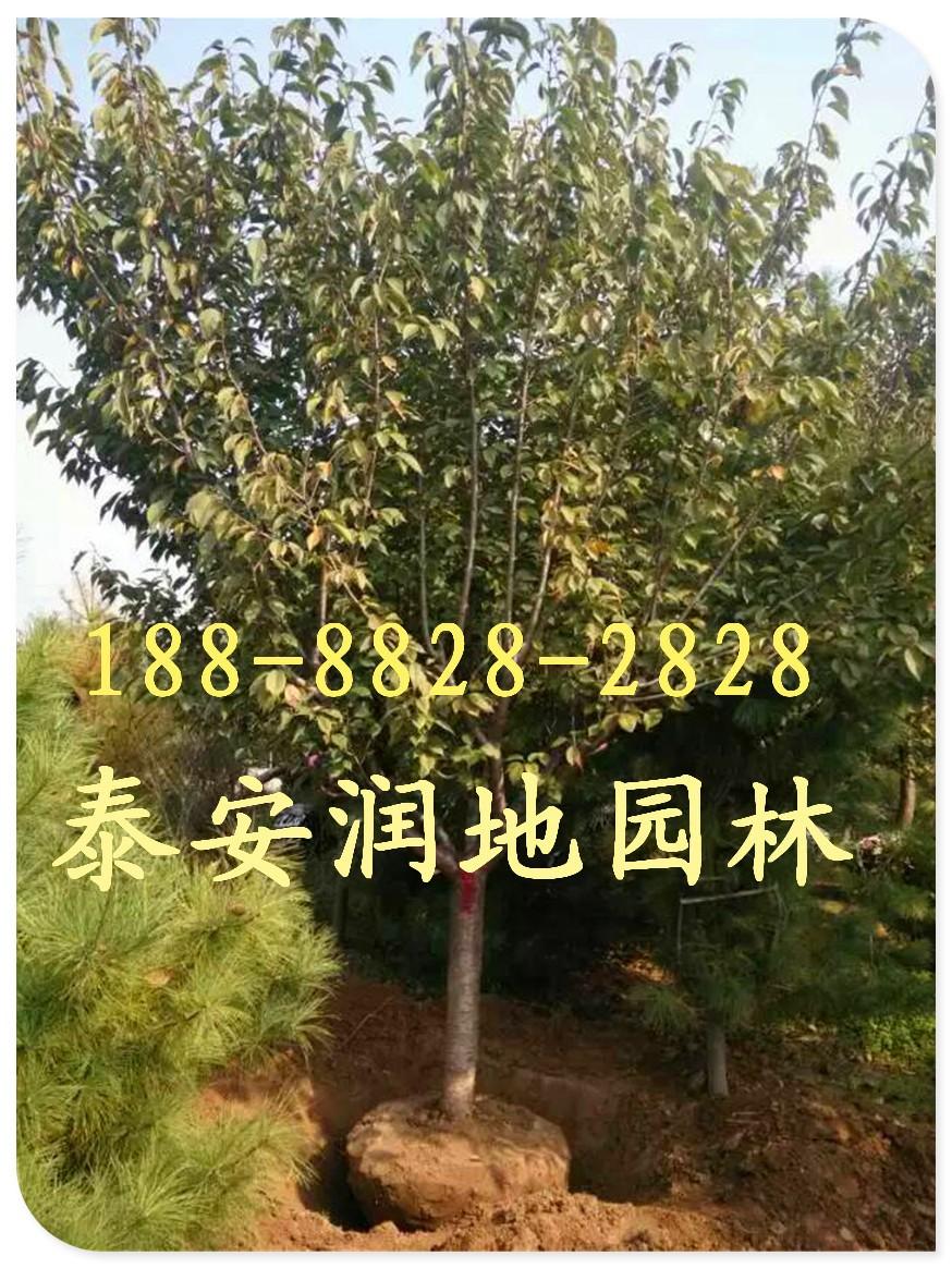 我基地产销的樱花树树形好,树冠大,分枝多,树干直,无病虫害.