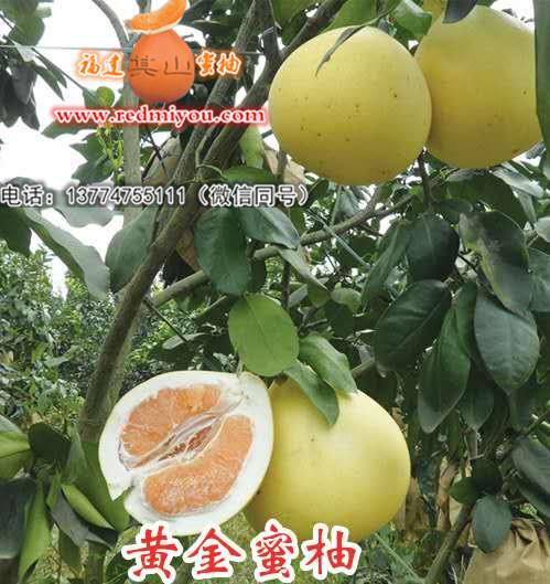 黄金蜜柚苗|柚子图片及价格-平和县其山蜜柚苗木专业