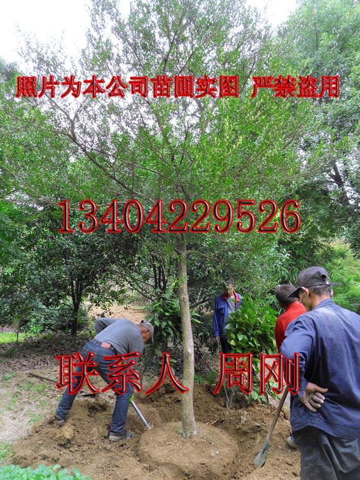 黄杨 (1) - 394kb.jpg