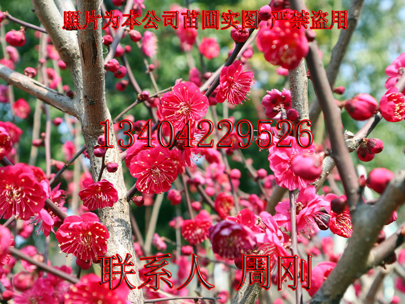01梅花树桩 - 195kb.jpg