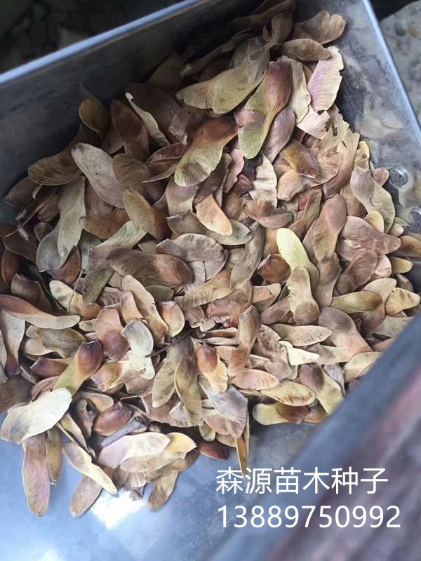 五角枫种子2右下角.jpg