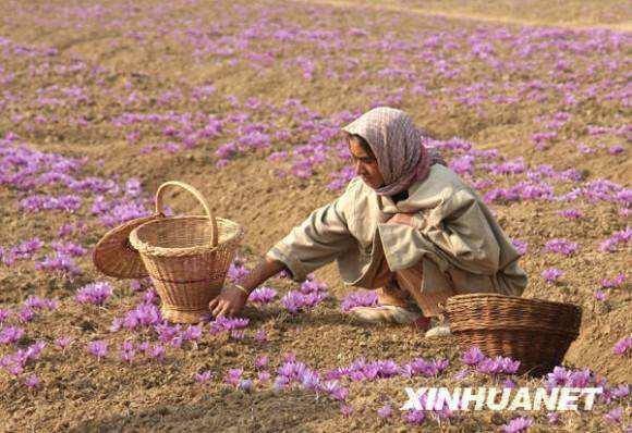 2019年藏红花价格对比,藏红花多少钱一斤_藏红花专题