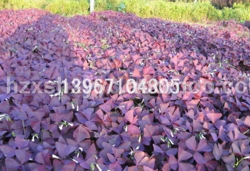 紫叶酢浆草介绍,栽培养护管理