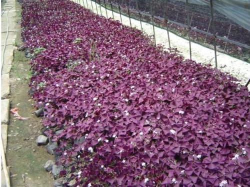 紫叶酢浆草介