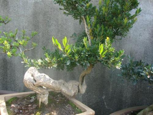 盆景树桩防腐方法