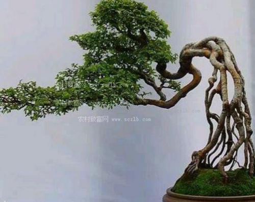 树桩盆景的防腐技巧