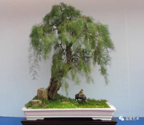柽柳垂柳式盆景制作