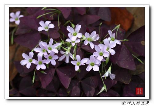 紫叶山酢浆草繁殖管理