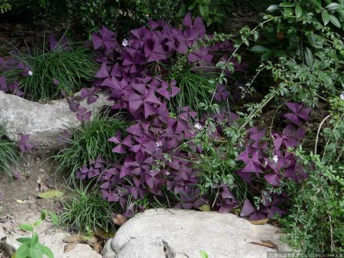 紫叶山酢浆草