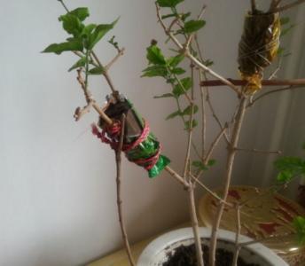 榆叶梅压条繁殖