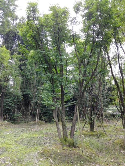 茶条槭定向育苗技术