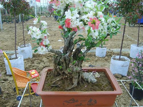 碧桃盆景的制作与养护