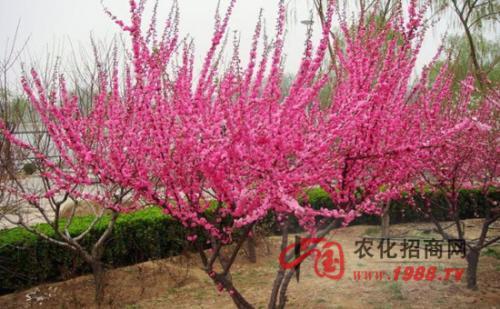 榆叶梅各种病虫害的防治